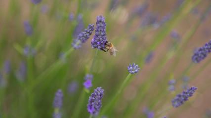 Honey bee or honeybee in lavender