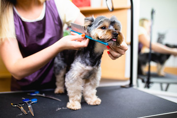 Yorkshire terrier at grooming salon