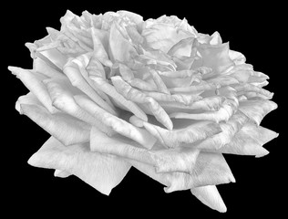 Fine art still life monochrome macro flower portrait of an isolated white rose blossom with detailed texture in front view vintage painting style on black background