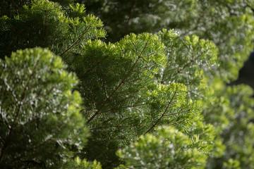 Background of Douglas fir