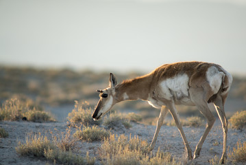 Female Pronghorn Doe at Sunset in Utah Desert