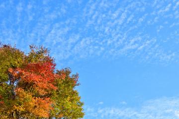 ケヤキの紅葉といわし雲