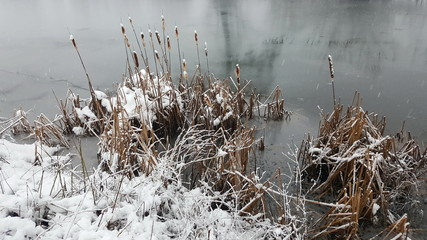 Cattail, Typha, bulrush plants with spikes and brown leaves covered with freshly fallen snow next to river during cold winter day and snowfall at sunset