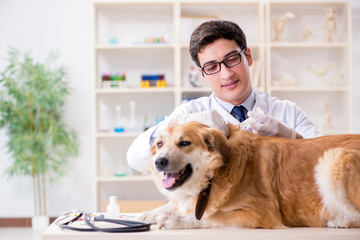 Doctor examining golden retriever dog in vet clinic