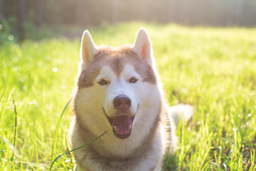 Close-up Portrait of Cute beautiful beige and white siberian husky dog with brown eyes lying in green grass at sunset