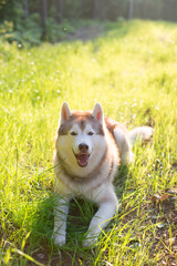 Portrait of Cute beautiful beige and white siberian husky dog with brown eyes lying in green grass at sunset