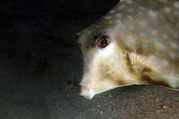 Close-up of a Humpback Turretfish (Tetrosomus gibbosus). Anilao, Philippines