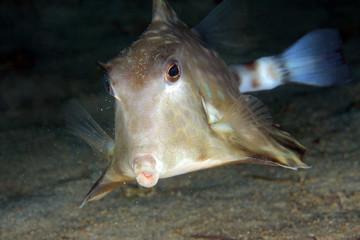 Humpback Turretfish (Tetrosomus gibbosus) from Front. Anilao, Philippines
