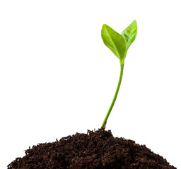 young plant growing from soil, sprout isolated on white background, clipping path