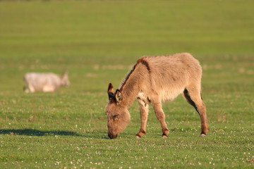 Donkey grazing grass on the field