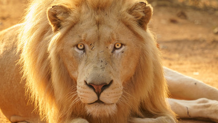 Male lion looking brave and dangerous with intense eyes.