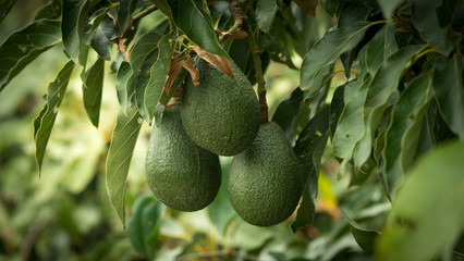 Three avocados hanging from a tree