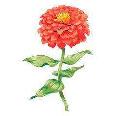 Beautiful red flower zinnia isolated on white background. A large bud and inflorescence on a stem with green leaves. Botanical vector Illustration.