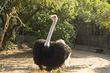 Giant ostrich in a pen in South Africa,