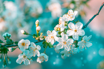 Blossom cherry tree branch with flowers. Sakura in spring and sunshine with a blur background. Wall mural
