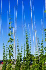 Hops growing on trellises against a clear blue sky