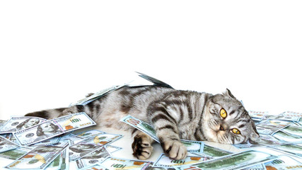 Isolated kitten with cash. Thoughtful cat lays under the money banknotes and holds dollars in paws.