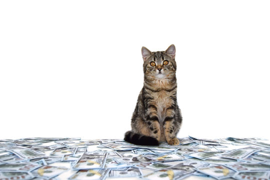 Purebred scottish cat is sitting on a pile of money and looking at the camera. Isolated kitten with cash.