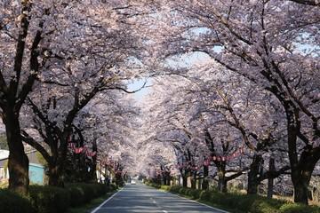 満開の桜が咲く風景