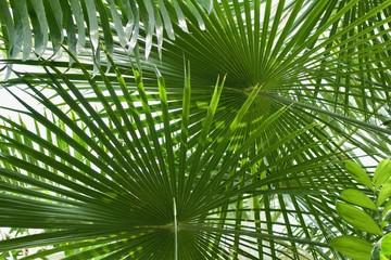Ribbon Fan Palm Tree Background (Livistona decipiens)