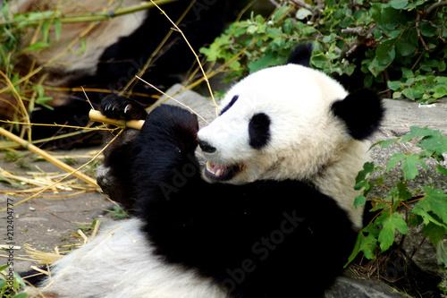 Grosser Panda Beim Essen Von Bambus Stock Photo And Royalty Free
