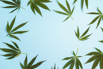 Fresh leaves of hemp on a blue background with copy space.