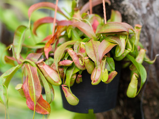 Tropical Pitcher or Monkey Cups plants.