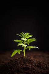 Healthy organic spinach
