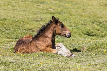 Wall Mural - Foal lies on the meadow in the Pyrenees of Andorra