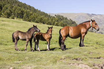 Wall Mural - Three horses are standing on the meadow in the Pyrenees of Andorra