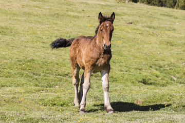 Wall Mural - Foal stands on the meadow in the Pyrenees of Andorra