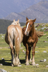 Wall Mural - Two horses stand next to one another on a meadow in the Pyrenees of Andorra