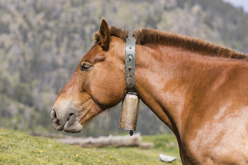 Wall Mural - Close-up of a horse wearing a bell around his neck in the Pyrenees of Andorra