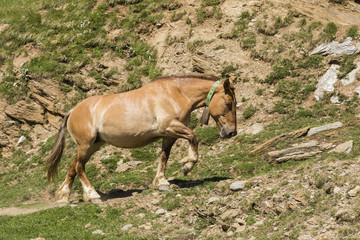 Wall Mural - A horse with a bell around its neck runs up a mountain trail in the Pyrenees of Andorra