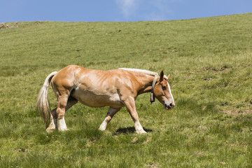 Wall Mural - A horse with a bell around its neck runs across a meadow in the Pyrenees of Andorra