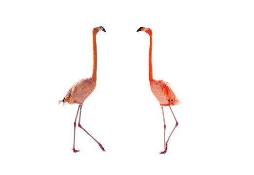 Pink flamingos isolated on white background
