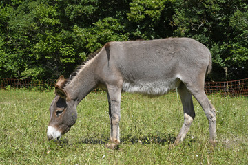 Garden Poster Ass Hausesel (Equus asinus asinus) beweidet eine Naturschuttzfläche - Donkey
