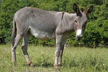 Wall Murals Ass Hausesel (Equus asinus asinus) beweidet eine Naturschuttzfläche - Donkey