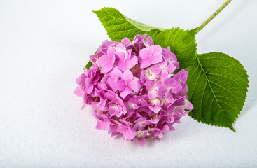 delicate pink purple hydrangea on a twig on a light background with backlight