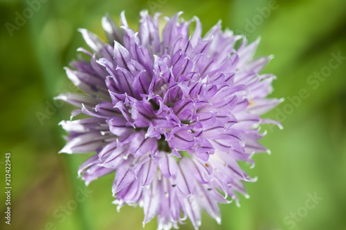 Fleur D Ail Stock Photo And Royalty Free Images On Fotolia Com