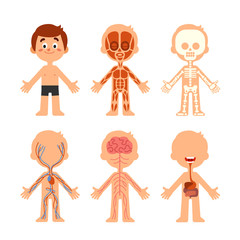 Cartoon boy body anatomy. Human biology systems anatomical chart. Skeleton, veins system and organs vector illustration