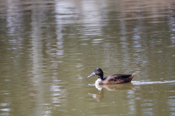 black duck swimming