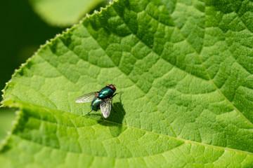 Petite mouche verte métalique sur une feuille en macro
