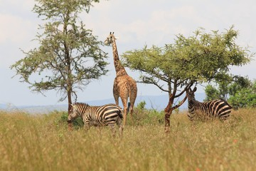 Giraffe and Zebras, Serengeti, Tanzania