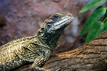 lizard of Weber