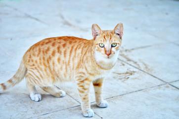 Portrait of beautiful ginger cat.