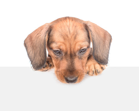 dachshund puppy above white banner looking down. isolated on white background