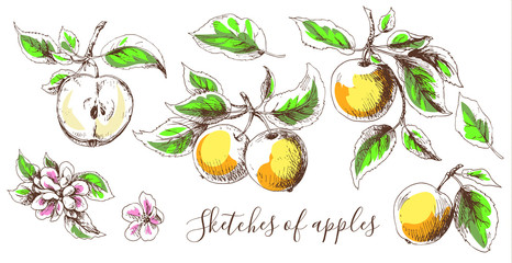 Sketches of apple