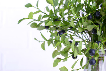 Fresh wild forest blueberries on green branches with green  leaves on white background . Blackberry bilberry close-up
