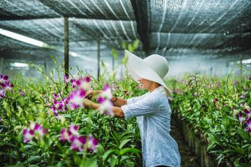gardener woman asian. Cutting orchid in an orchid garden.